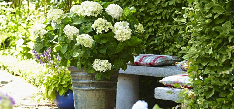 die richtige hortensie f r deinen garten das ist wichtig willkommen in franks kleinem garten. Black Bedroom Furniture Sets. Home Design Ideas