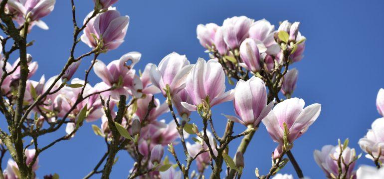Frühling - Magnolie - Blüten - Franks kleiner Garten
