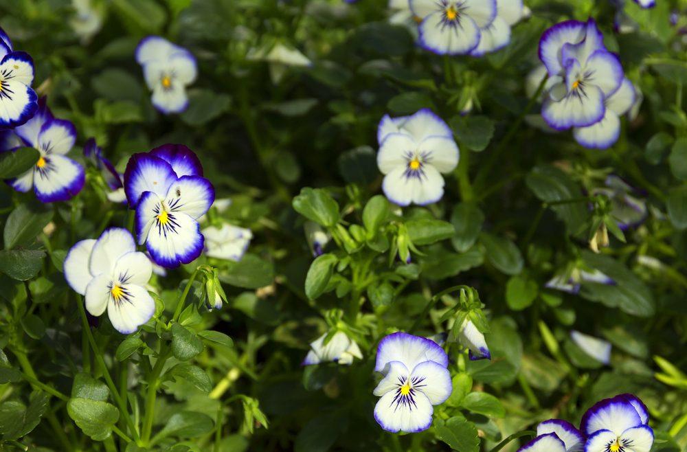 Hornveilchen - Frühling - Beet - Deko - Franks kleiner Garten