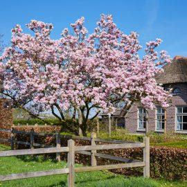 Magnolie - Blüten - Baum - Haus - Franks kleiner garten
