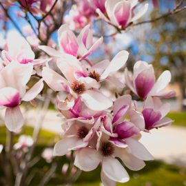 Magnolie - Blüten - Frühling - Franks kleiner Garten