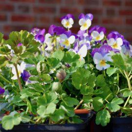 Hornveilchen - Terrasse - Hauseingang - Topf - Frühling - Franks kleiner Garten