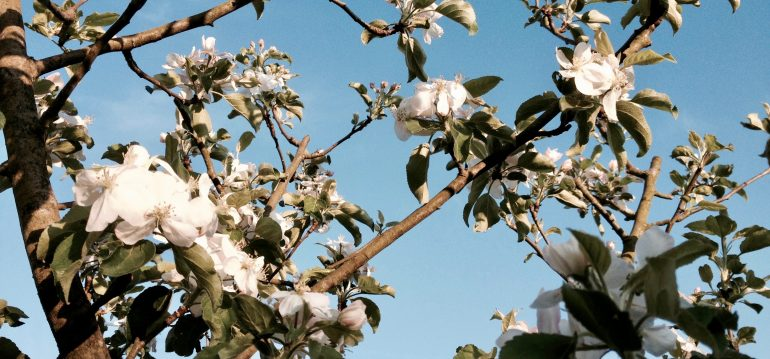 Apfelbaum - Blüte - im Dezember pflanzen - Franks kleiner Garten
