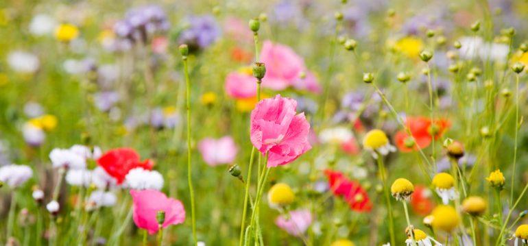 Bienen - Blumenwiese - Naturgarten - Franks kleiner Garten
