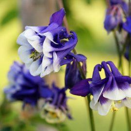 Frühlingsboten - Akelei - Franks kleiner Garten