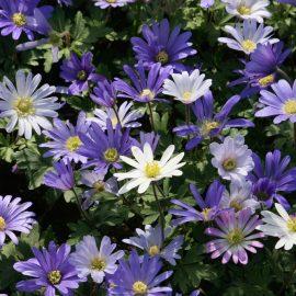 Frühlingsboten – Strahlenanemone - Franks kleiner Garten