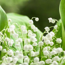 Frühlingsboten - Maiglöckchen - Franks kleiner Garten