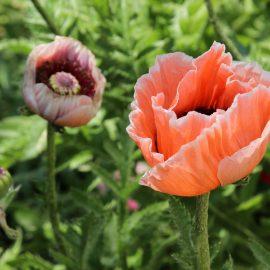 Frühlingsboten - Türkischer Mlohn - Franks kleiner Garten
