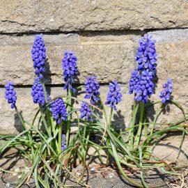Frühlingsboten - Traubenhyazinthen – Franks kleiner Garten