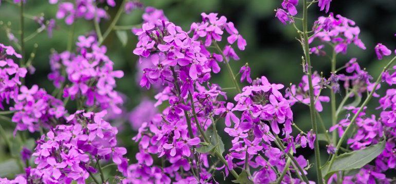 Frühlingsboten - Nachtviole - Franks kleiner Garten