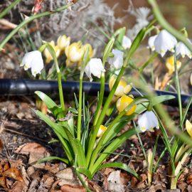 Frühlingsboten - Märzenbecher - Franks kleiner Garten