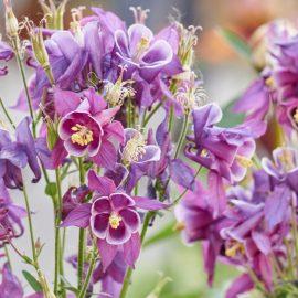 Akelei - spetenfia – frankskleinergarten