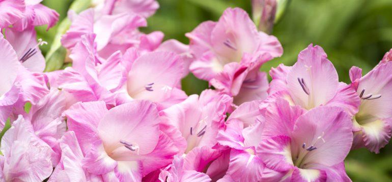 Gartenarbeit im Mai - Gladiolus - frankskleinergarten.de