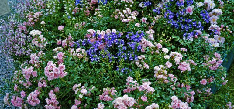 Rosen - Stauden - Franks kleiner Garten