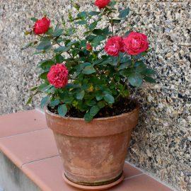 Tontöpfe – Rosen - Franks kleiner Garten