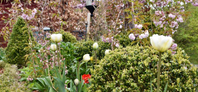 Buchs - Gartenarbeit im Mai - Tulpen - Buchs - frankskleinergarten.de