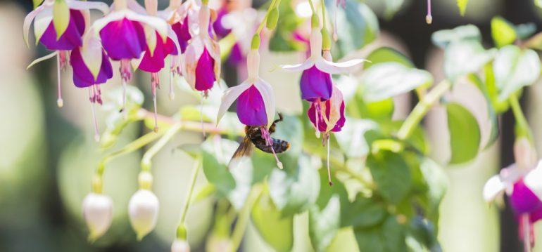 Garten im Mai - Fuchsien - frankskleinergarten