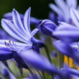 Agapanthus – Blüten – Close - Franks kleiner Garten