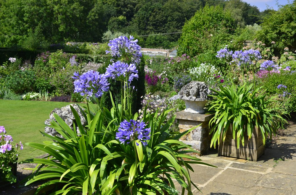 Agapanthus – Container – terrasse – Franks kleiner Garten