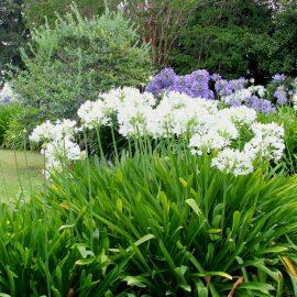 Agapanthus – Garten – Beet – Franks kleiner Garten