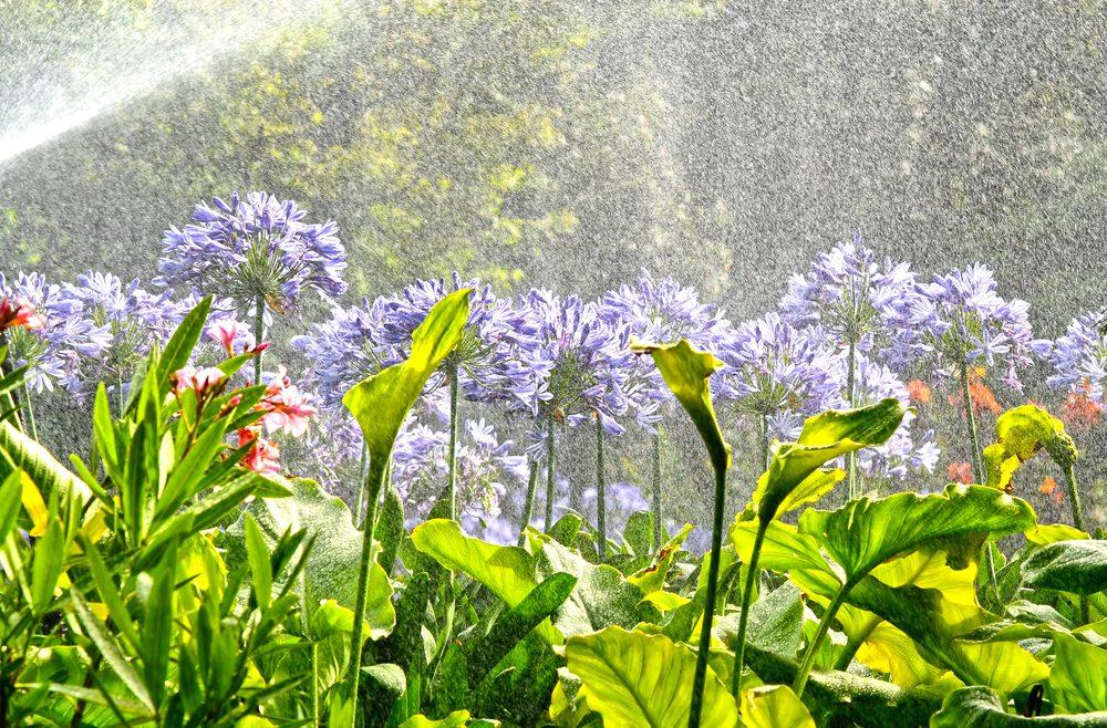 Agapanthus – Regen – Franks kleiner Garten
