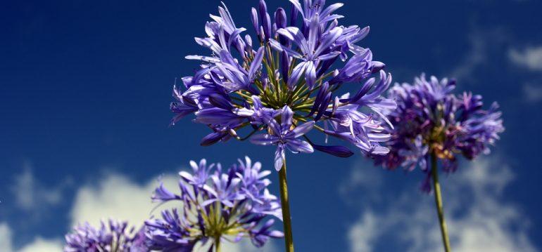 Agapanthus – Titel – Franks kleiner Garten