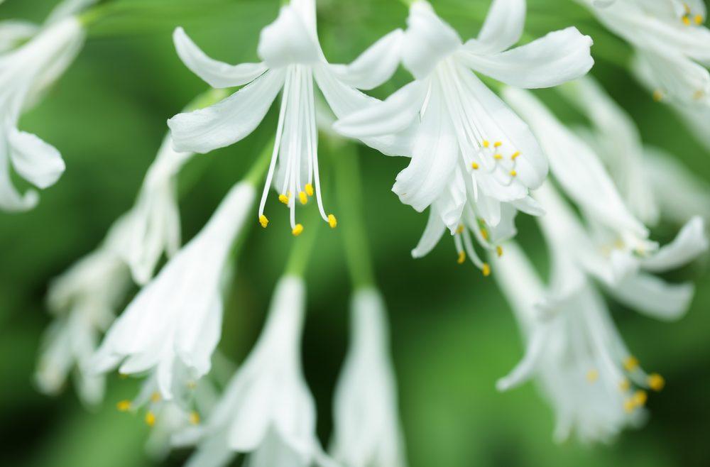 Agapanthus – Weiss – Close – Franks kleiner Garten