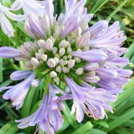 Agapanthus – close – Franks kleiner Garten