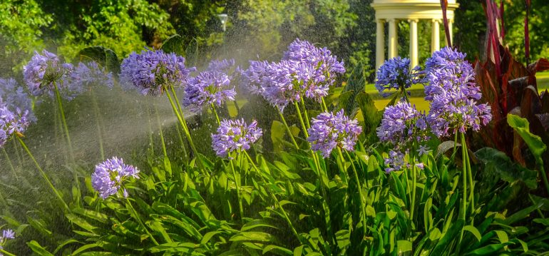 Agapanthus – Titel – Park – Franks kleiner Garten