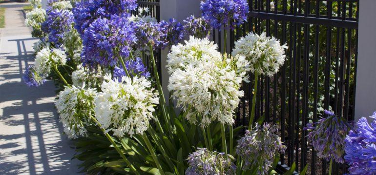 Agapanthus – Zaun - Franks kleiner Garten