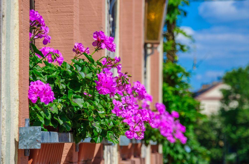 Balkon - Geranie - Franks kleiner Garten