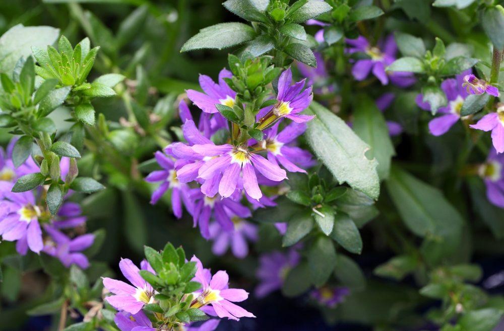 Fächerblume - Franks kleiner Garten