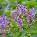 Flieder - Franks kleiner Garten