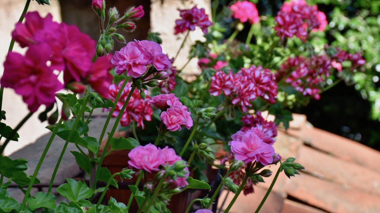 Geranien - Balkon - Franks kleiner Garten