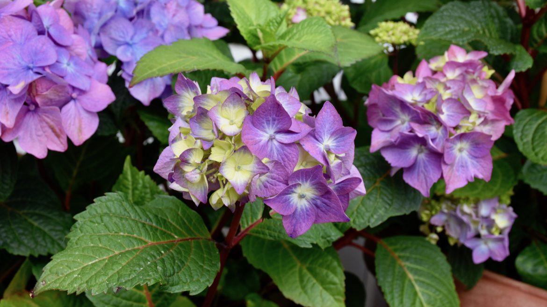 Hortensien - Endless Summer - Franks kleiner Garten