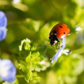 Marienkäfer - Blüte - Franks kleiner Garten