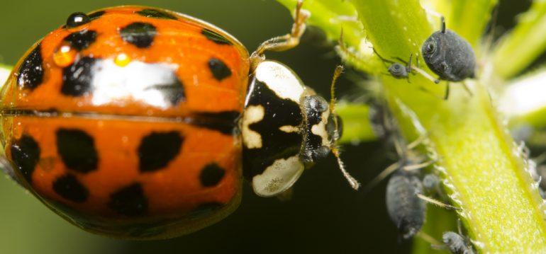 Marienkäfer - Blattläuse Schädlinge - Nutzgarten - Ziergarten - Rosen - Frank kleiner Garten