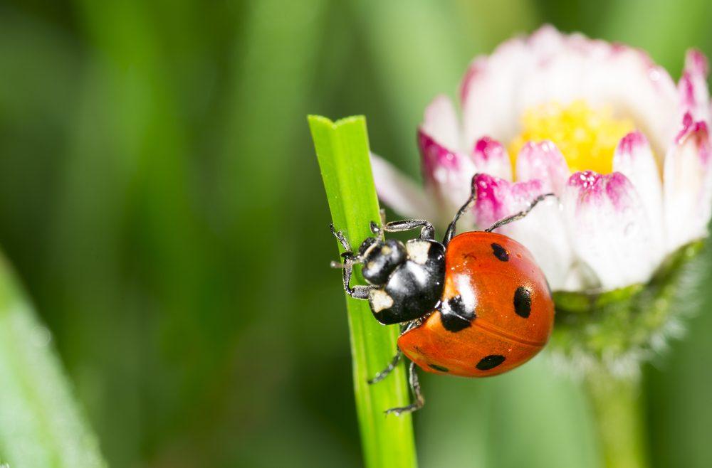 Marienkäfer - Gänseblume - Franks kleiner Garten