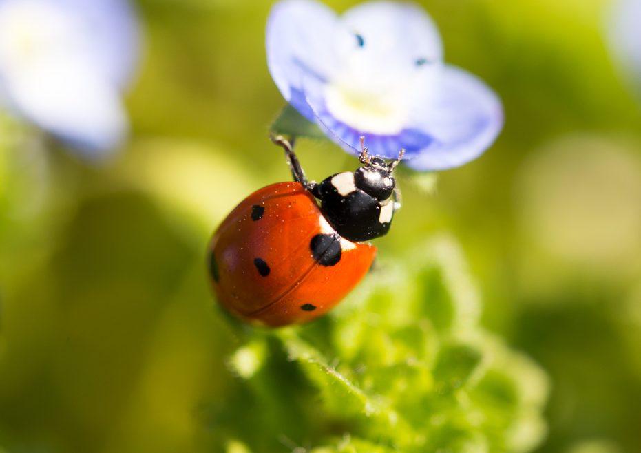 Marienkäfer - blaue Blüte 2 - Franks kleiner Garten
