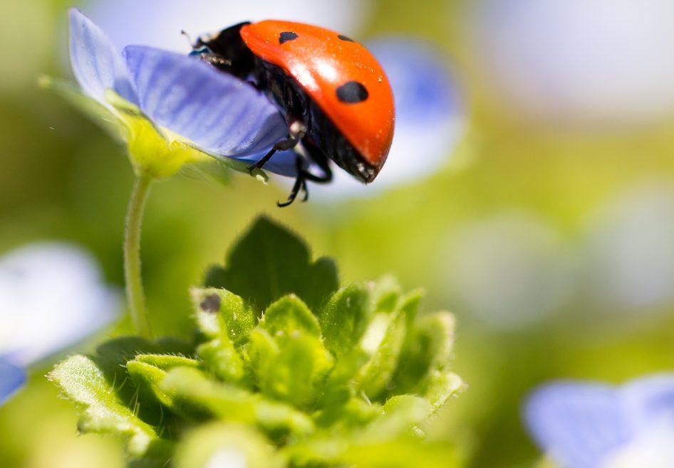 Marienkäfer - blaue Blüte - Franks kleiner Garten