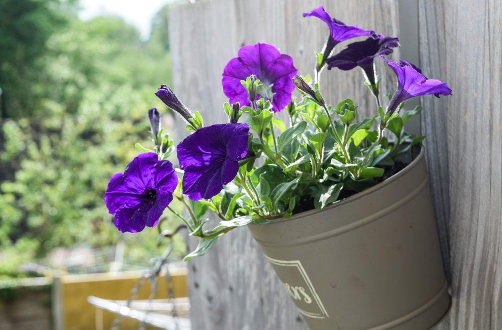 Petunias - Franks kleiner Garten
