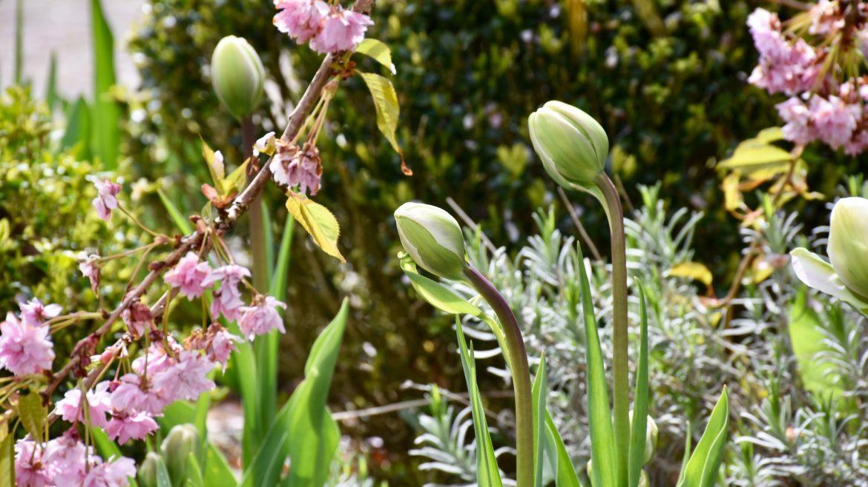 Pflanzen aus dem Internetshop – Tulpen – Franks kleiner Garten