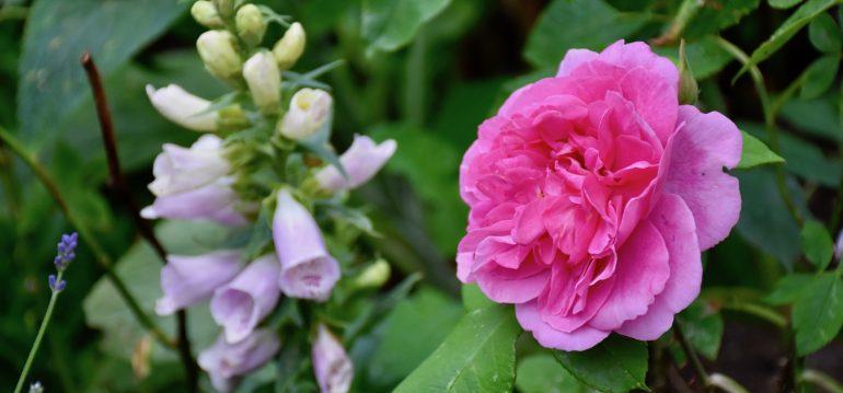 Pflanzen aus dem Internetshop – Rose – Franks kleiner Garten