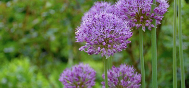 Pflanzen aus dem Internetshop – Zierlauch – Franks kleiner Garten