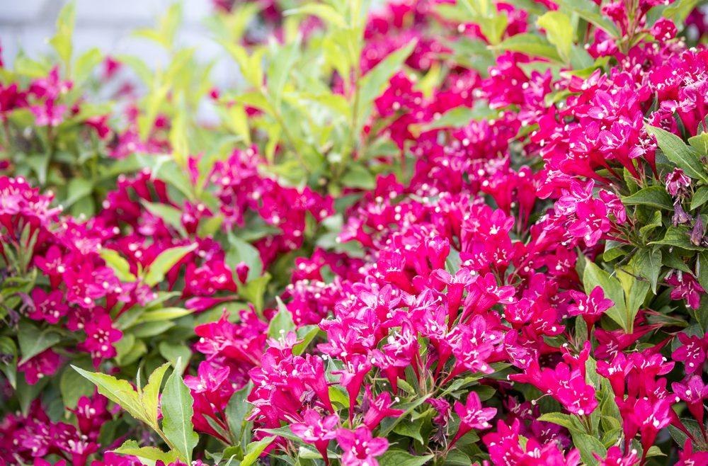 Pflanzen aus dem Internetshop - Weigelie – Franks kleiner Garten