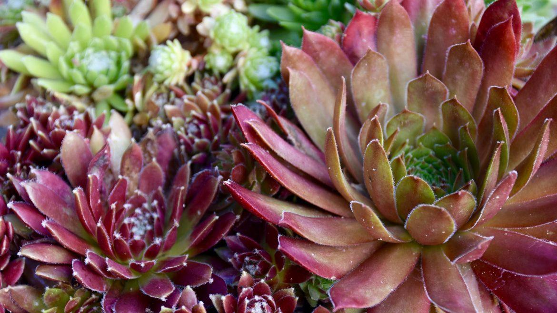 Sedum - Franks kleiner Garten