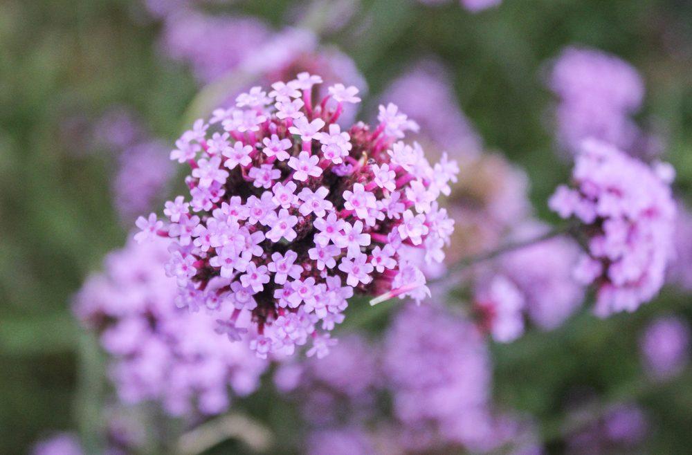 Verbena - Franks kleiner Garten
