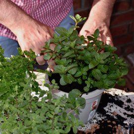 Vertikales Gärtnern - Kräuter 2 - Franks kleiner Garten