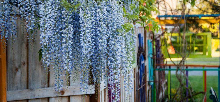 Blauregen - Juli - Franks kleiner Garten