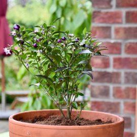 Chili - auf der Terrasse - Franks kleiner Garten